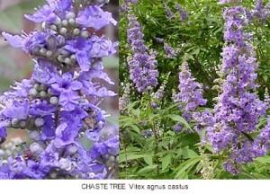 agnus castus flower